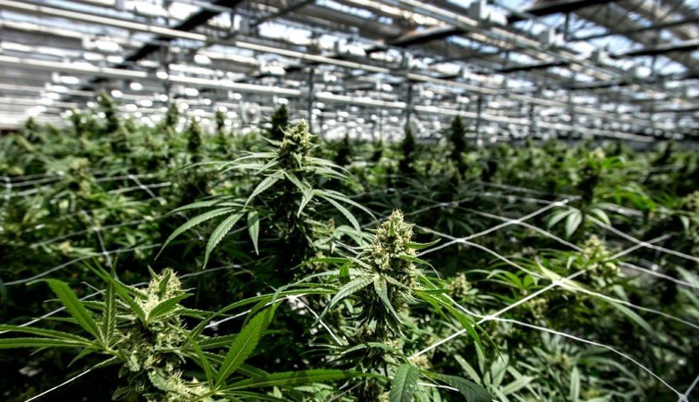 CANOPY NEW GENERATION OF CANNABIS PRODUCTS WON'T BE ON SHELVES UNTIL JANUARY