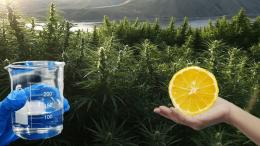 One dollar THC threatens the future