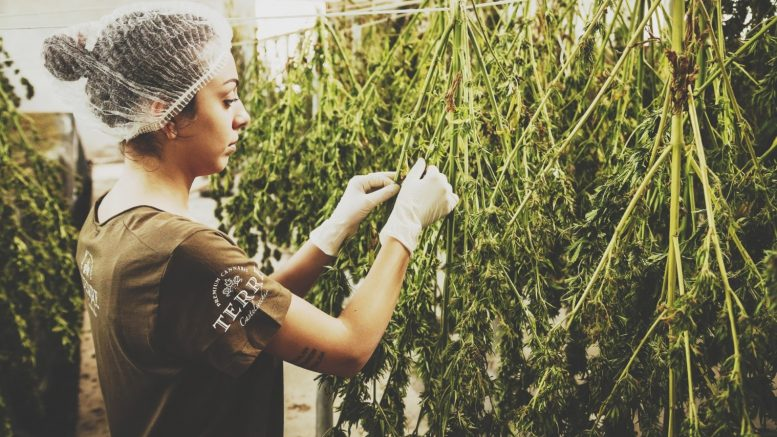 How-to-Cultivate-Weed-the-Old-School-Way-1