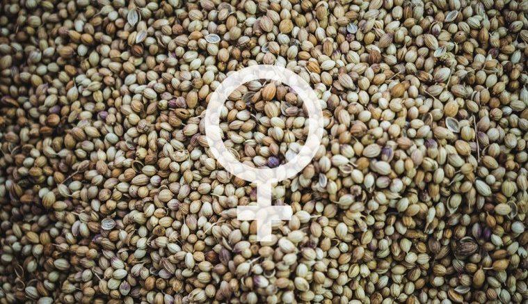 Where-To-Buy-Feminized-Cannabis-Seeds